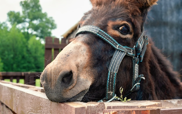 Donkey in the stable. close up photo of a donkey face in bridle. Premium Photo
