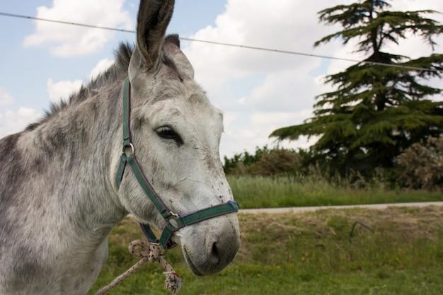 Donkey in a typical italian farm