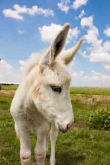 Donkey in a typical italian farm Premium Photo