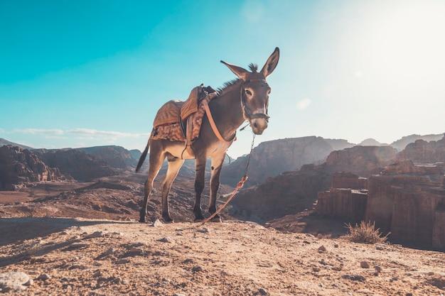 사막의 밝은 태양 아래 푸른 하늘에 안장을 얹은 당나귀. 사막에서 당나귀를 타고 페트라 안에서 탈 수 있습니다.