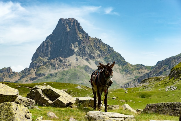 Donkey with the pic du midi d'ossau in the french pyrenees