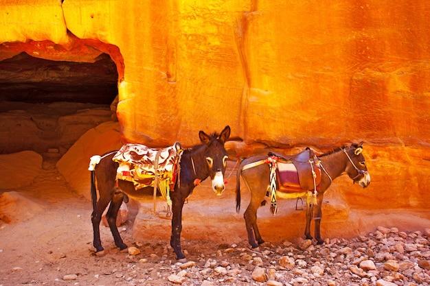 Donkeys with saddles in petra. jordan