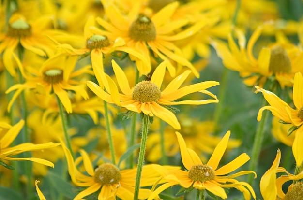 キク科またはキク科のドロニクムオリエンターレまたはドロニクムの花は、春と初夏に畑に咲きます