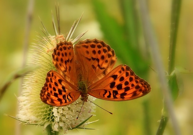 Dots butterfly thistle insects summer brown