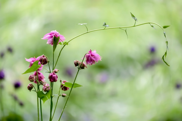 ピンクのオダマキ(aquilegia vulgaris)の八重咲き