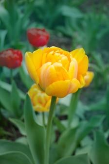 Двойные оранжевые тюльпаны цветут