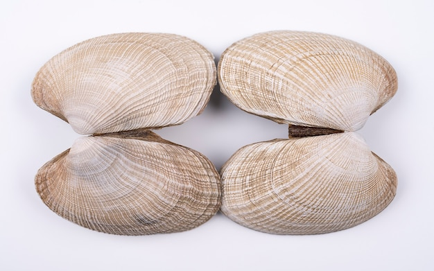 Double sea shells isolated on a white background two colorful shells isolated on white background