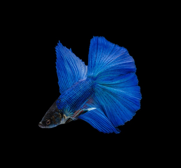 Doubletail super blue half moon siamese fighting fish isolated on black wall