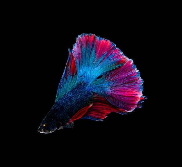 Doubletail красочный синий и красный полумесяц сиамские боевые рыбы, изолированных на черном фоне