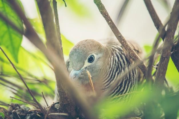 Голубь, живущий в гнезде