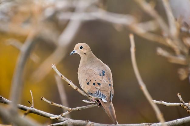 背景がぼやけている木の枝に鳩