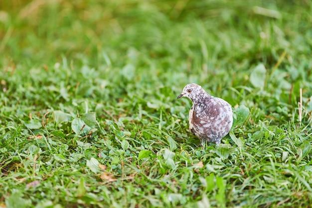 草の上の鳩。餌を探している小さな鳩。