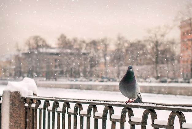 Голубь сидит на парапете набережной зимой во время снегопада на фоне старого города.