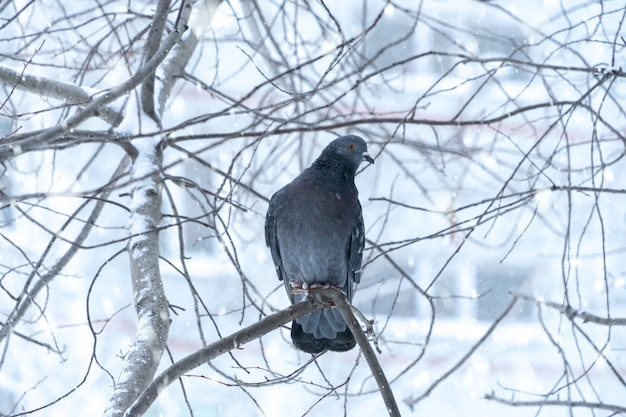 Dove sitting on a branch with red rowan in winter