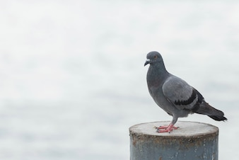 Dove standing on a steel