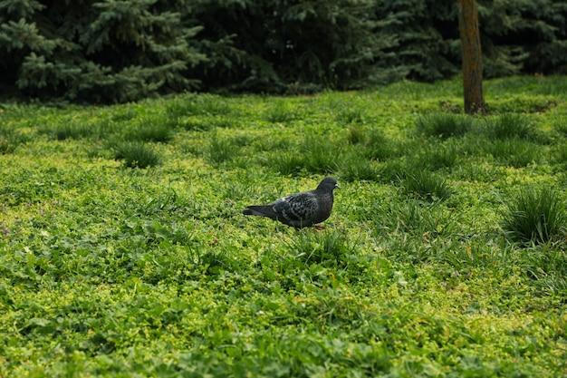 Голубь гуляет по зеленой траве в парке. весна