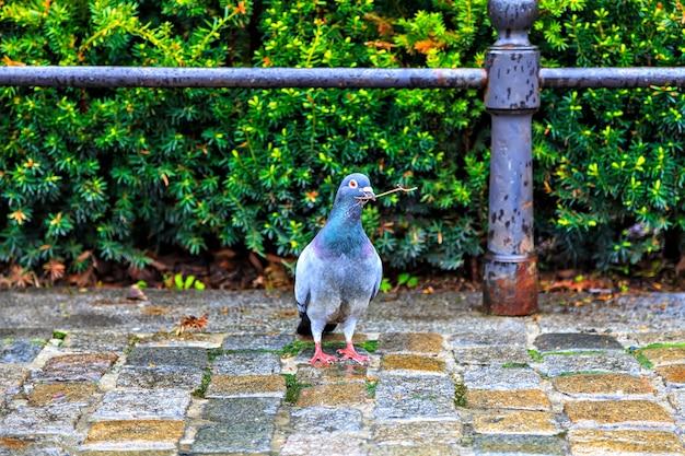 덤불을 배경으로 부리에 장식을 한 비둘기