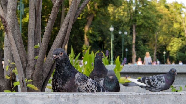 여름 화창한 날에 도시 공원에서 비둘기. 비둘기는 거리와 광장에 모여서 버려진 음식을 먹습니다. 선택적 초점입니다.