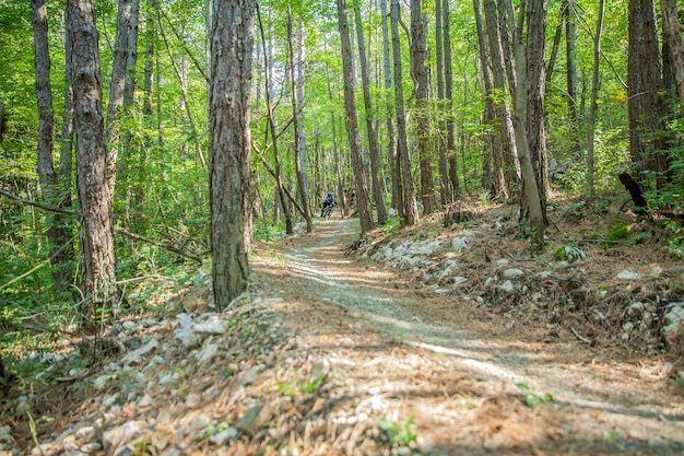 Downhill trail with thin tree trunks in a forest
