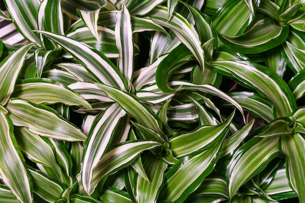Dracaena deremensis leaves close up close up of green with white leaves plant dracaena or dracaena a...