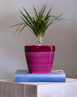ドラセナドラコ、ピンクの鍋のドラゴンツリー