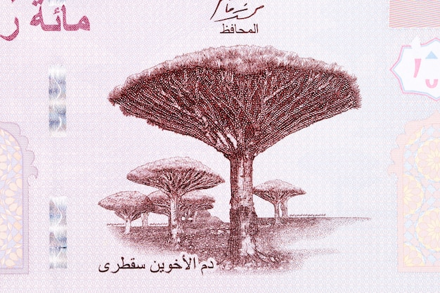 예멘 리알에서 소코트라의 드라세나 고유 나무