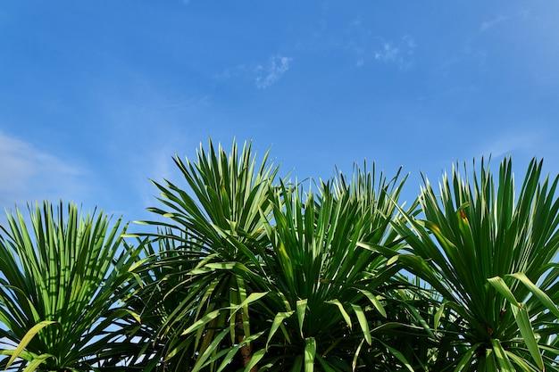 Dracaena loureiri's leaves in blue sky background. copy space fo text.