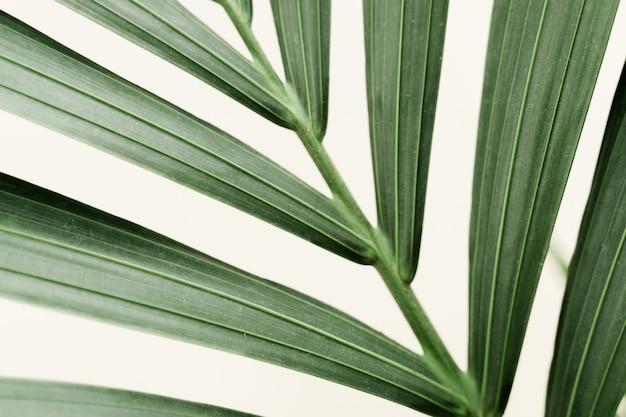 新しい葉と白い背景のドラセナパームマクロ。ホームガーデニングのコンセプトです。緑豊かな