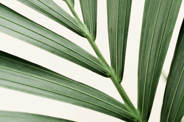 Dracaena palm macro on white background with new leaf. home gardening concept. lush