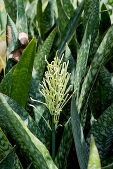 Dracaena trifasciata leaves and flower on natural background.