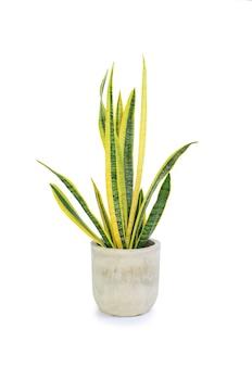 흰색 배경에 격리된 시멘트 냄비에 있는 dracaena trifasciata(sansevieria laurentii 또는 snake plant). 클리핑 패스가 있는 이미지