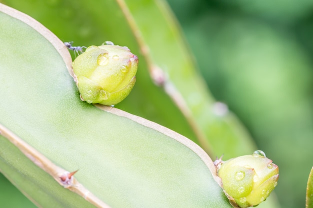 Dragon fruit buds on branches.