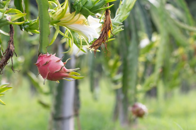 Dragon fruit field or  landscape of pitahaya field.