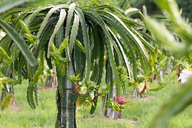 ドラゴンフルーツフィールドまたはピタハヤフィールドの風景、ピタヤまたはピタハヤは、アメリカに固有のいくつかのサボテン種の果実です。