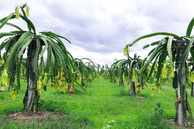Поле фруктов дракона или поле питахайя.