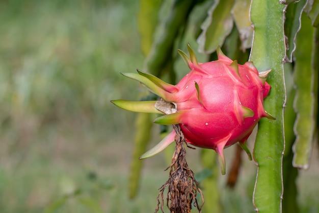 Dragon fruit on field