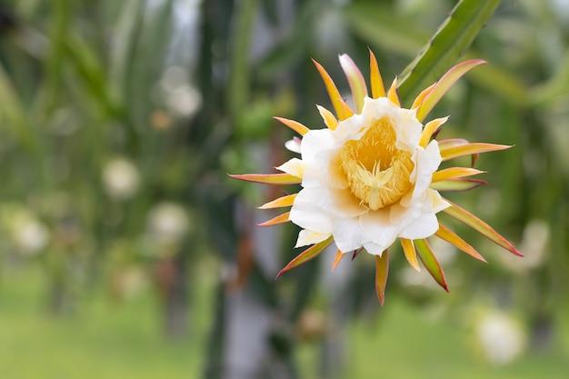 Dragon fruit flower on plant.