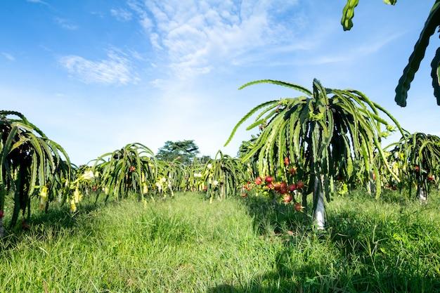 Плод дракона на растении, плоды сырой питайи на дереве