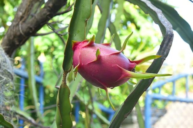 정원에서 비 후 나무에 드래곤 과일