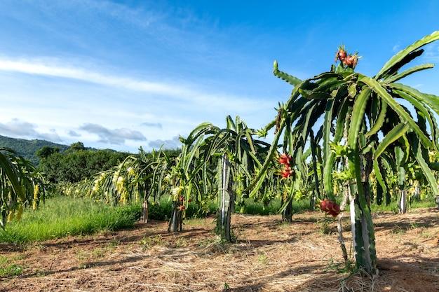 Dragon fruit on plant, raw pitaya fruit on tree.