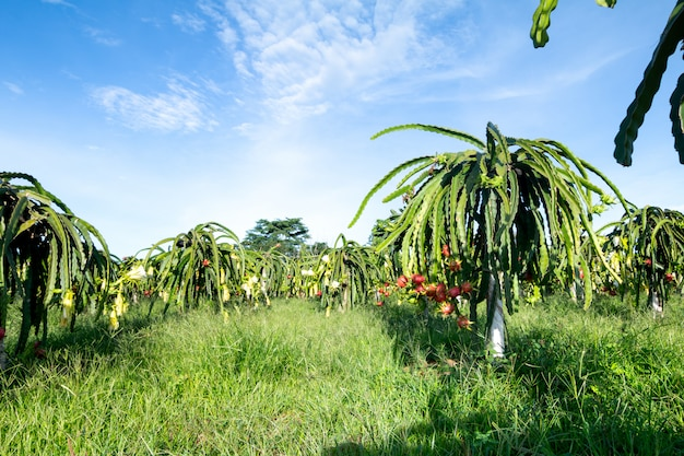 Dragon fruit on plant, raw pitaya fruit on tree