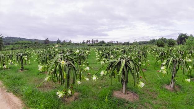 Цветок дракона расцветает летом, пейзаж поля питахайя во время цветения, питайя или питахайя - это плод нескольких видов кактусов, обитающих в северной и южной америке.
