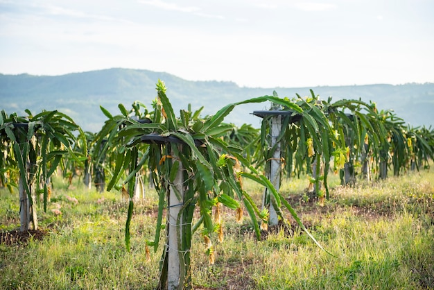 Dragon fruit tree in the garden agriculture on the mountain