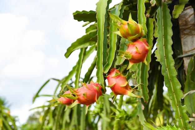 Dragon fruit on tree plant