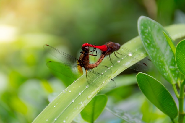 Dragonflies are reproduce on the green leaves