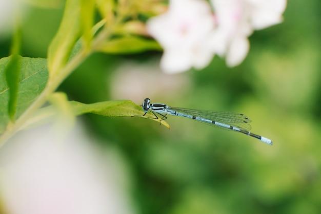 Стрекоза стрелка синяя, сидя на листе травы