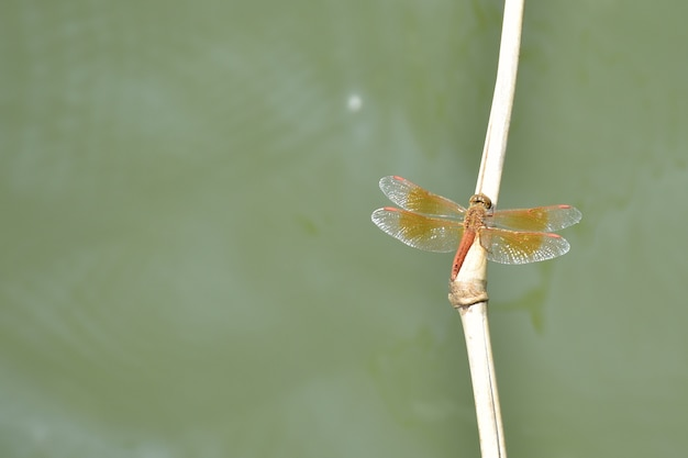 Dragonfly on the branch of bamboo with water background.