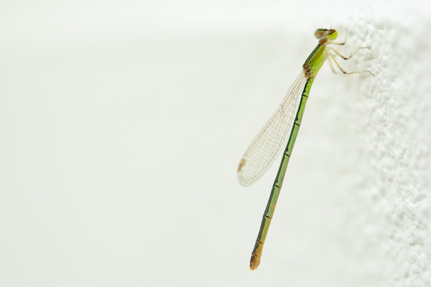 Dragonfly or british dragonfly on white concrete wall