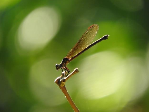 トンボ -  euphaea variegata  - 女性