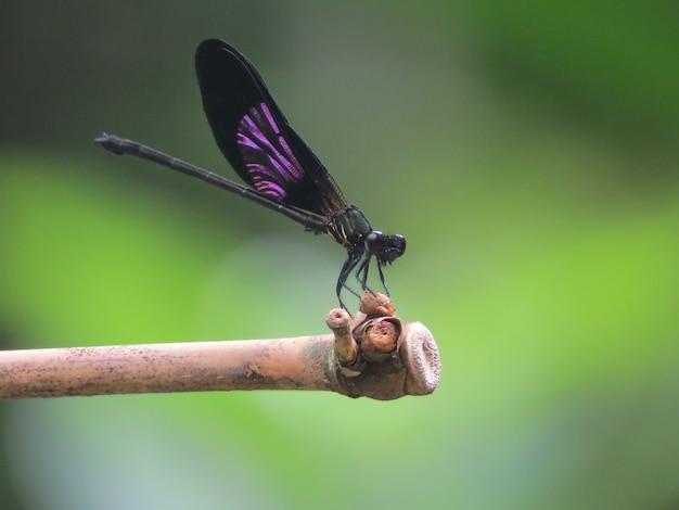 トンボ -  euphaea variegata  - 男性